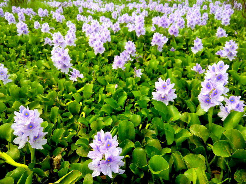 Water_Hyacinth_in_Nepal.jpg